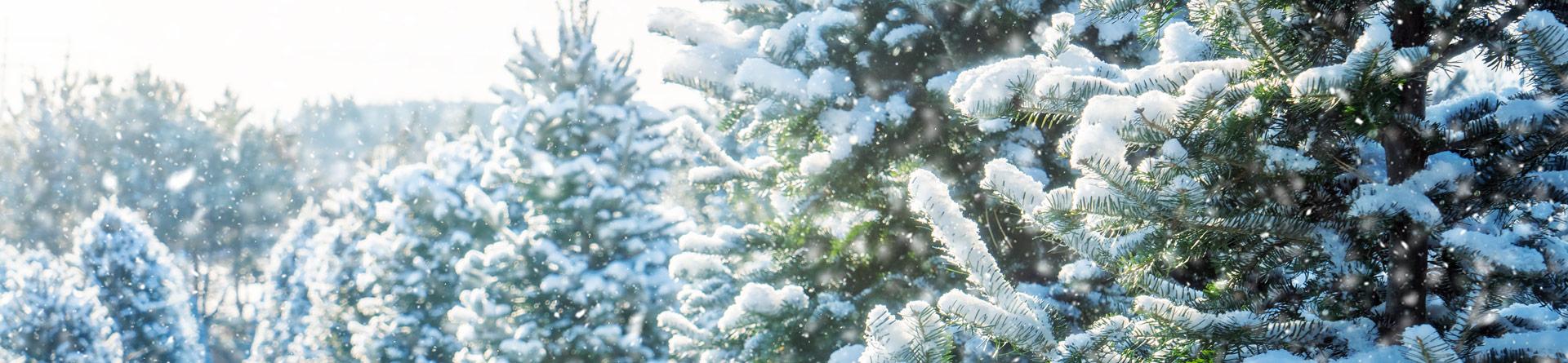 Snow falling at a Christmas tree farm