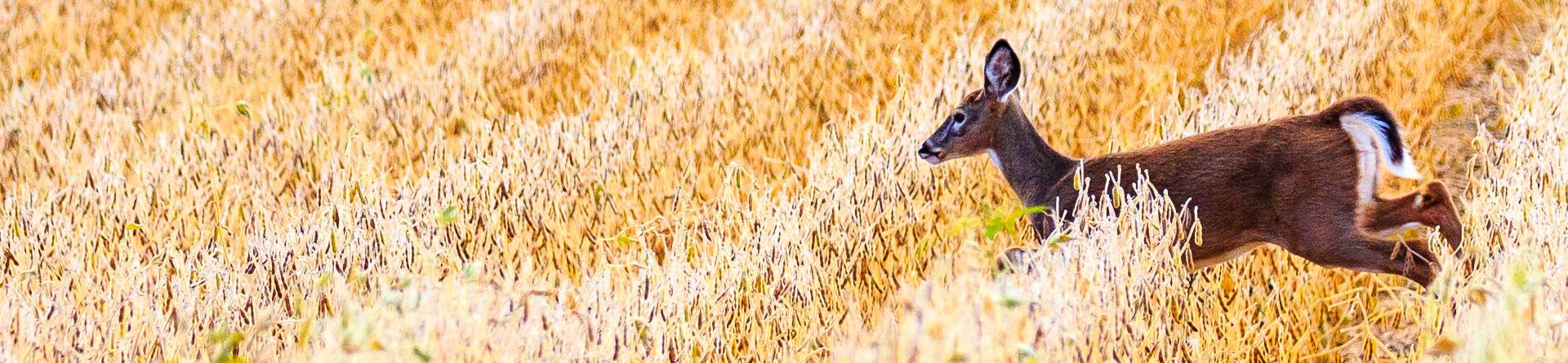 Female deer running through soybean field.