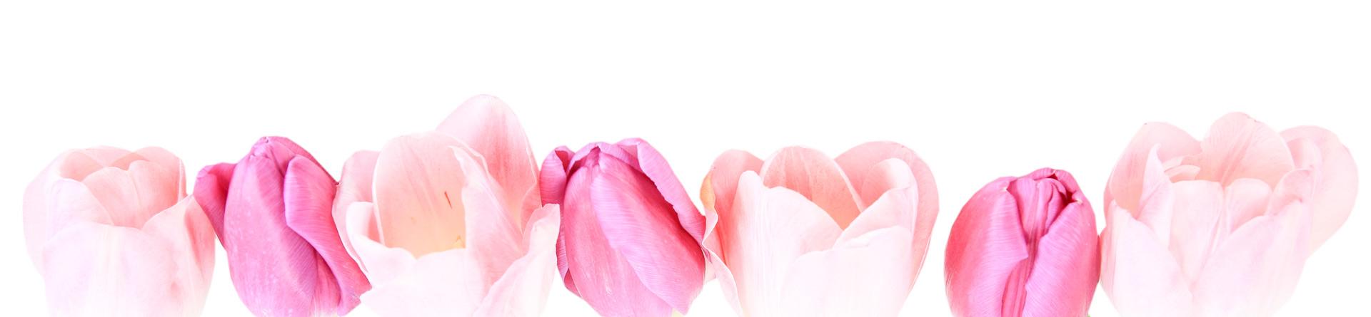 Tulip blooms