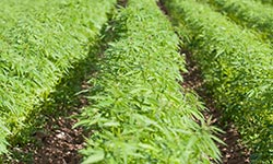 Rows of industrial hemp growing