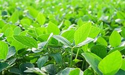 Closeup of soybean plants