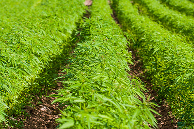 Rows of hemp in a field.