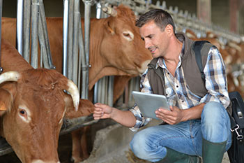 male vet with cattle and digital tablet in barn