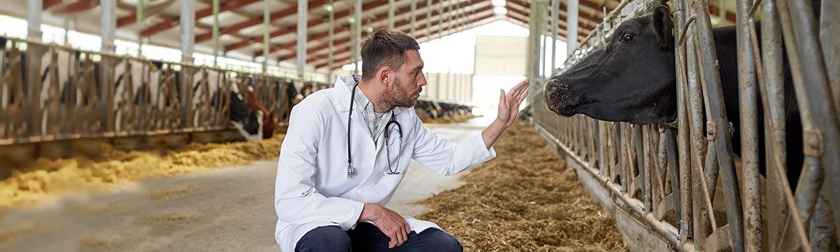 veterinarian examining cattle