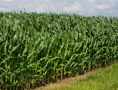 Corn and Sorghum