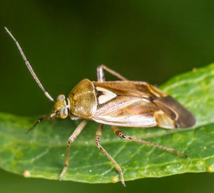 Closeup of a Lygus bug