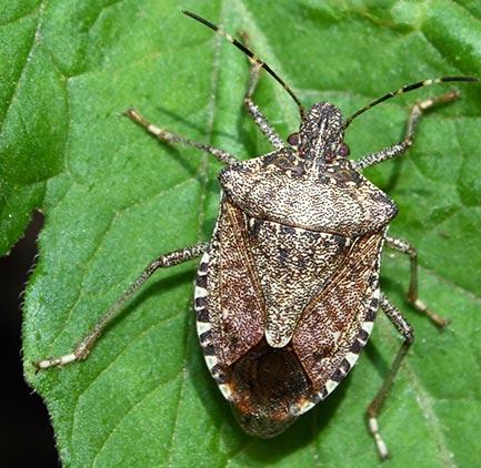 Closeup of a brown stink bug on a leaf