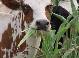 Dairy cows grazing in a pasture