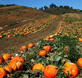 A pumpkin patch
