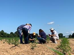 Farmers in a hemp field