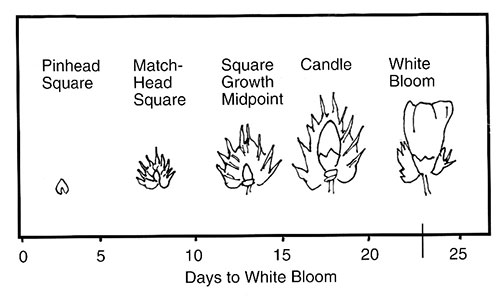 Reproductive stages of cotton: pinhead square, matchhead square, square growth midpoint, candle and white bloom