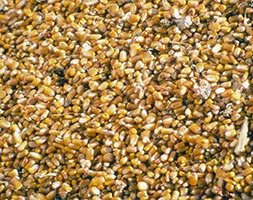 Link to Corn Extension website