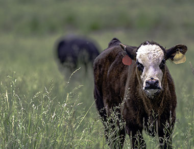 Cow grazing in tall grass.