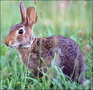 Closeup of a cottontail rabbit
