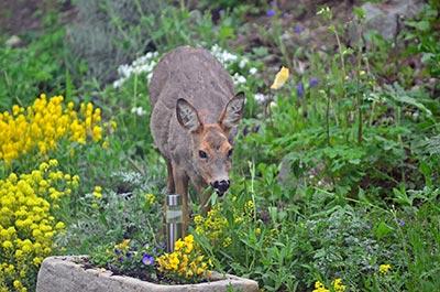 Deer eating flowers in field