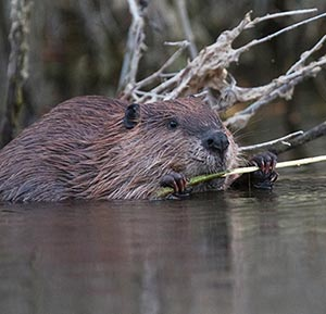 Young beaver feeding on a willow shoot