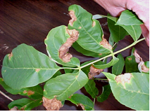 Anthracnose on ash