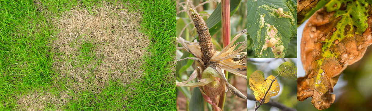 Collage of plant disease images