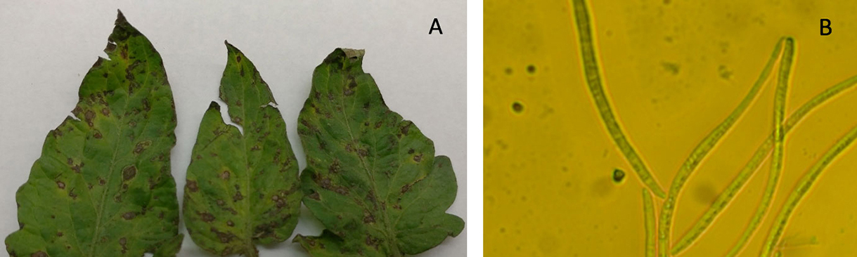 Septoria leaf spot on tomato leaf