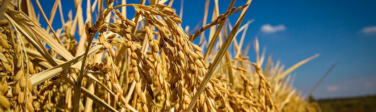 Closeup of a row of growing rice