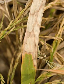 Closeup of rice plant showing watermark lesions from sheath blight