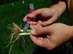 Closeup of rice stems