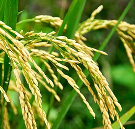 Closeup of rice plant