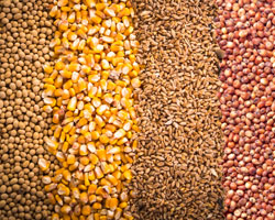 Image of soybeans, corn, wheat and sorghum linking to Missouri Grain Crops website