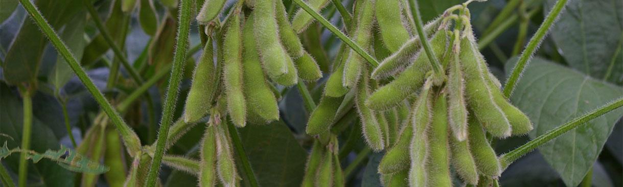Growing soybean plants on farmland
