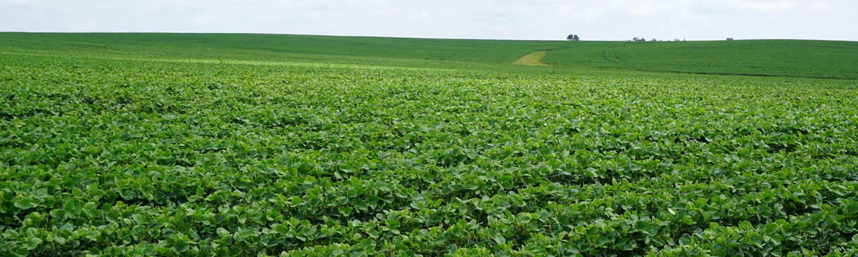 Growing soybean plants on farmland
