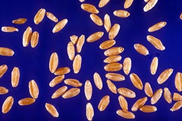 Link to description of durum wheat seeds.