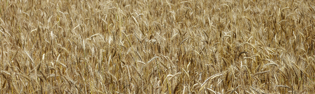 Grain growing in a field