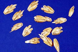 Link to description of spelt seeds.